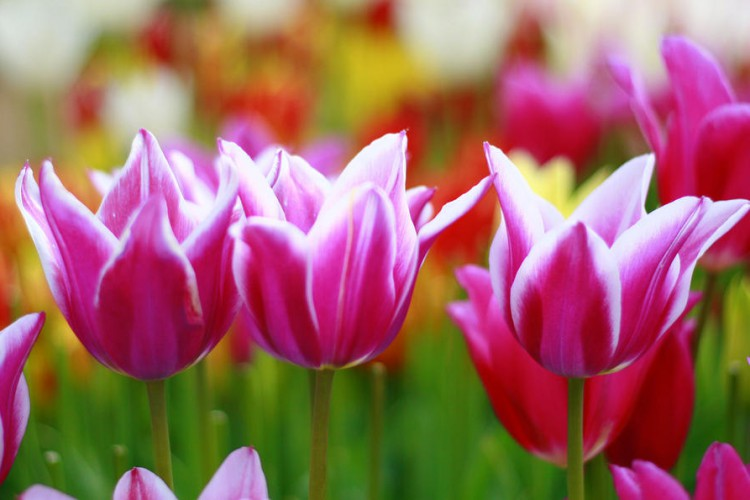 springtime-tulips-at-wooden-shoe-tulip-farms-margaret-hood